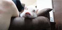 [주간펫] '갈비'는 살아있었다…'100일 후 먹히는 돼지'가 불러온 파장